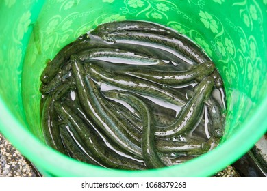 A green bucket full of eels on display for sale in a seafood market in Vietnam.