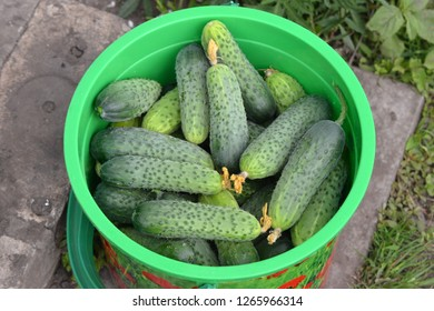 green bucket with harvest of fresh ripe cucumbers in dacha plot in summer