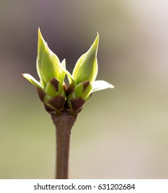 A green bud grows on a tree in the spring
