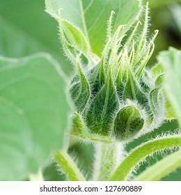 Green bud sunflower close up