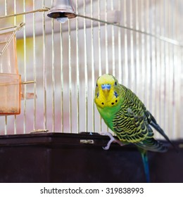 Green Budgerigar (domestic budgie) on cage