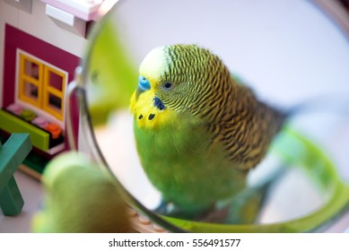 Green budgerigar parrot close up portrait on blurred background look in the mirror
