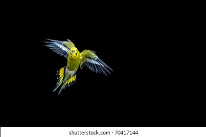 Green budgie flying with his wings spread