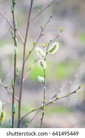 Green buds on branches in spring. Nature and blooming in spring time