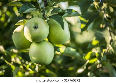 Green bunch of apples hanging on a tree branch