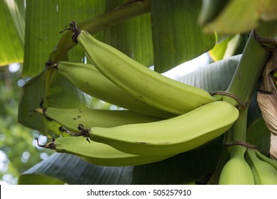 Green bunch of plantain bananas on the tree. Plantain banana is a delicacy fruit common in the Latin American diet.