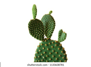 Green Bunny Ears Cactus isolated on a white background