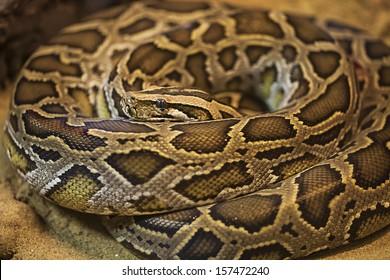 green burmese python
