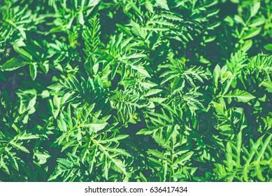 green bush background close up, landscape design texture retro style