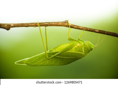 Green bush cricket, katydid or long-horned grasshopper (insect family Tettigoniidae) attached to a tree branch wooden stick macro closeup photo with light background out of focus.