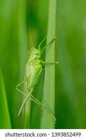 Green bush cricket, katydid or long-horned grasshopper (insect family Tettigoniidae) attached to grass