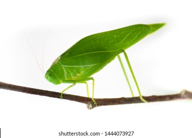 Green bush cricket, katydid or long-horned grasshopper (insect family Tettigoniidae) attached to a tree branch wooden stick macro closeup photo isolated on white background.
