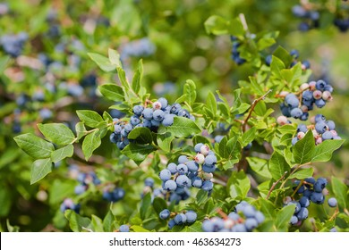 Green bush full of ripe blueberries. Harvest is ready. Close up. Selective focus.