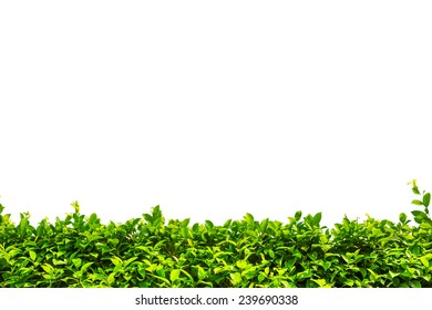 Green bush hedge isolated on white with space for text. Copy space