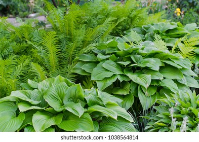 Green bush of Hosta and fern in summer. Green life concept. Nature background image.