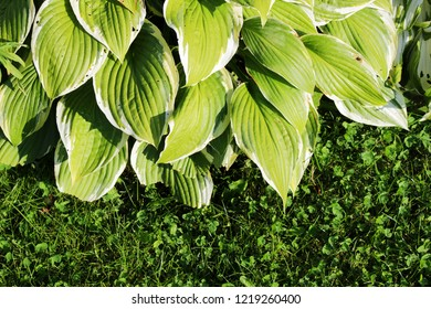 Green bush Hosta. Hosta leaves in the autumn. Nature background image beautiful Hosta leaves. Hosta - an ornamental plant for landscaping park and garden design