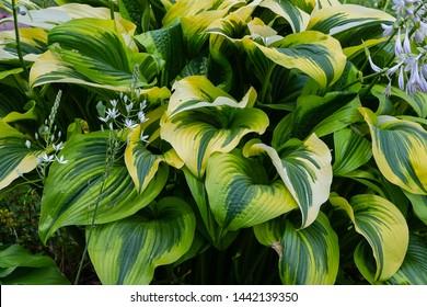 Green bush Hosta. Hosta leaves. Beautiful Hosta leaves background. Hosta - an ornamental plant for landscaping park and garden design