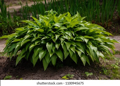 Green bush Hosta. Hosta leaves. Nature background image. Beautiful Hosta leaves background. Hosta - an ornamental plant for landscaping park and garden design.