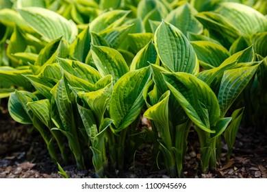 Green bush Hosta. Hosta leaves. Nature background image. Beautiful Hosta leaves background. Hosta - an ornamental plant for landscaping park and garden design.