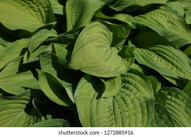 Green bush Hosta. Hosta leaves. Nature background image. Beautiful Hosta leaves background. Hosta - an ornamental plant for landscaping park and garden design