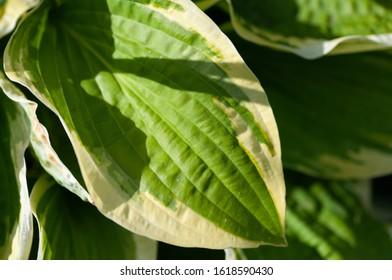 Green bush Hosta. Hosta leaves. Nature background image. Beautiful Hosta leaves background. Hosta - an ornamental plant for landscaping park and garden design