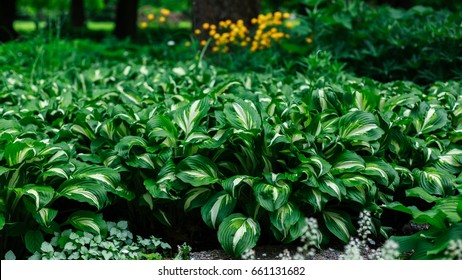 Green bush Hosta. Hosta leaves. Nature background image.