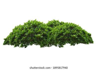 green bush isolated on white background.
