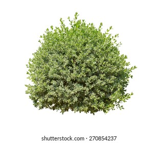 green bush isolated on white background