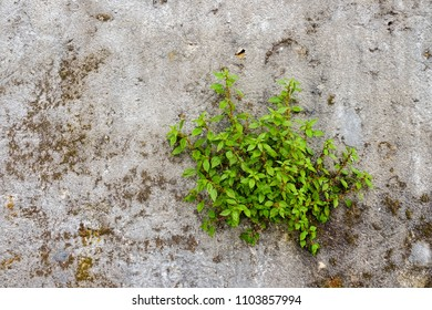 Green Bush on decayed concrete wall