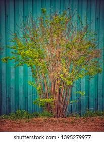 Green bush on isolated turquoise background