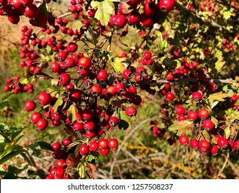 Green bush with red hawthorn berries.