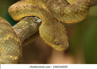 Green bush viper, also known as variable bush viper, leaf viper or Hallowell's green tree viper in its natural environment. A venomous snake species endemic to west and central Africa.