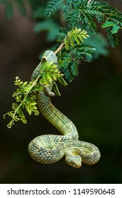 Green bush viper, variable bushviper, leaf viper, common bush viper, bush viper (Atheris squamigera). A venomous species found in West and Central Africa.