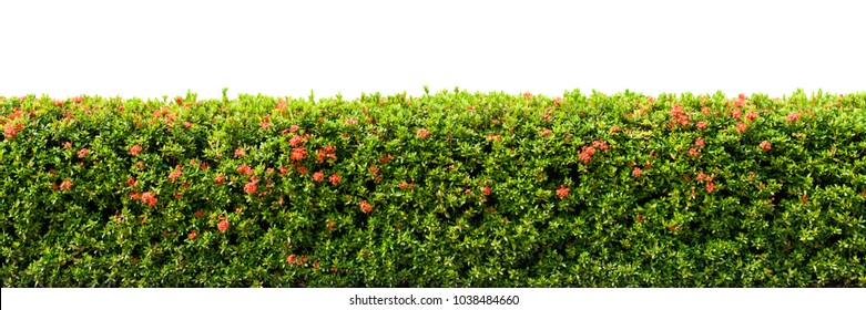 Green bush or wall of shrubs isolated on white background. Green leaves wall with clipping path