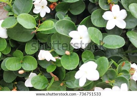 Green bush white flowers stock photo edit now 736751533 shutterstock green bush with white flowers mightylinksfo