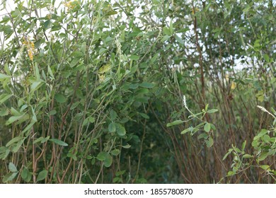 green bush with yeallow flowers