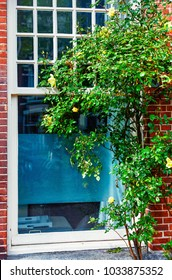 Green bush yellow rose with colour near wooden white window and wall of red brick.