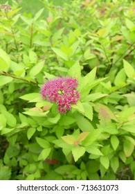 Green bush. Yellowish leaves. A bright flower. - Shutterstock ID 713631073