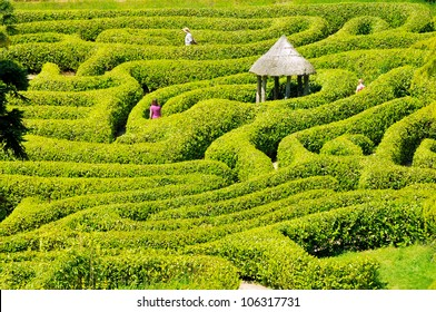 Green bushes labyrinth, hedge maze. People search the exit