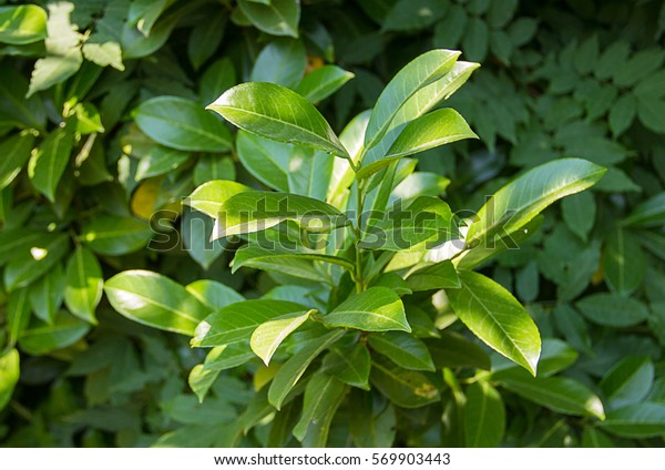 green bushes laurel tree catch the rays of the sun in the shade of a tree
