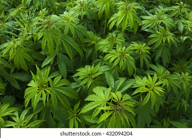 Green bushes of marihuana. Background Texture of Marijuana Plants