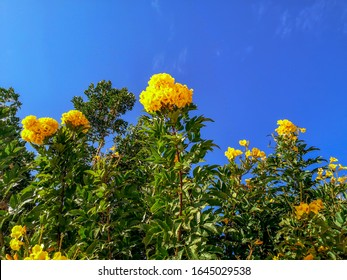 Green bushes with yellow bunches of Campsis radicans F. Flava flowers against a blue sky in Sharm El Sheikh (Egypt). Beautiful floral natural background on a sunny summer day