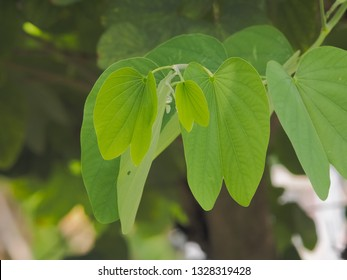 Green butterfly shape leaf on branch of Phanera purpurea or Bauhn names incinia purpurea, other names orchid tree, purple bauhinia, butterfly tree, and Hawaiian orchid tree.