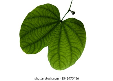 Green butterfly shape leaf on branch of Phanera purpurea or Bauhn names incinia purpurea, other names orchid tree, purple bauhinia, butterfly tree, and Hawaiian orchid tree.Isolated on white backgroun