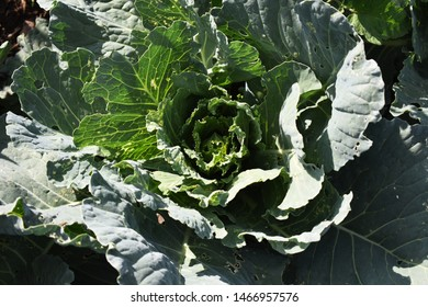 Green cabbage bitten by insects