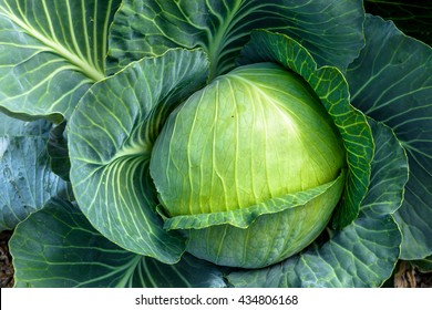 Green cabbage farm product on a soil background
