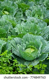 green cabbage in Thailand