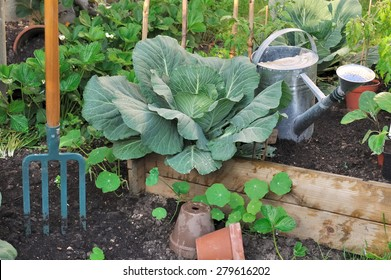 Green cabbage in vegetable patch with watering can and spade