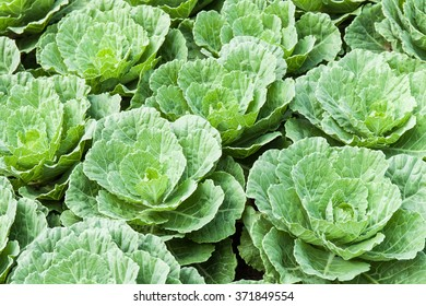green cabbages in the cabbages field
