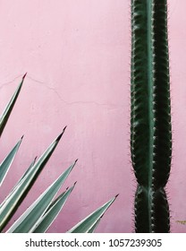 Green cactus and agave growing in pink wall background close up
